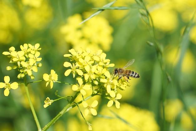 Uma abelha trabalhadora coleta mel em uma flor amarela no verão