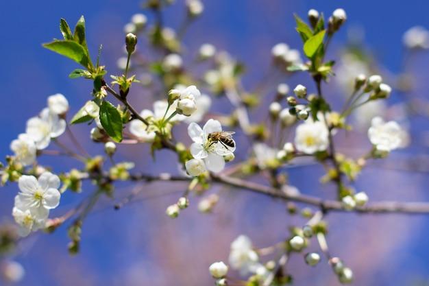 Uma abelha voa sobre um ramo da cereja de florescência no jardim.