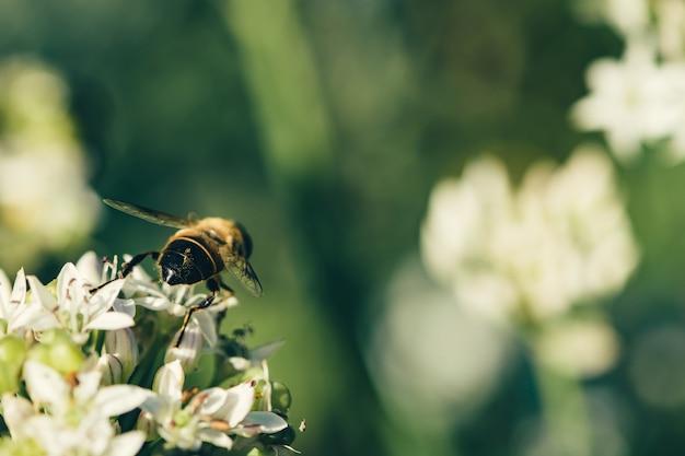 Uma abelha voa sobre uma flor branca em verde