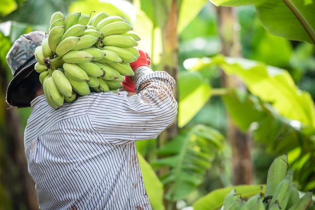 Uma agricultora asiática está segurando bananas cruas e coletando produtos em sua plantação de bananas
