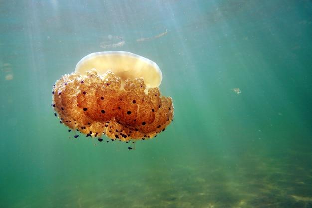 Uma água-viva nada no mar, os raios do sol a iluminam