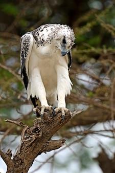 Uma águia africana empoleirada em uma árvore de acácia