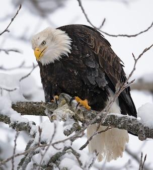 Uma águia careca sentada em uma árvore