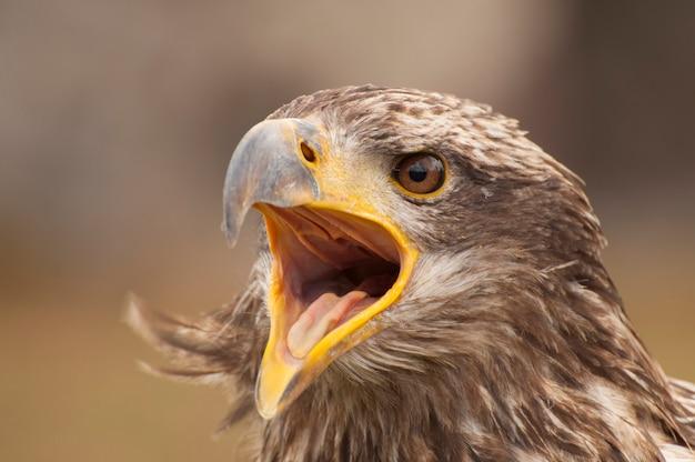 Uma águia chorando