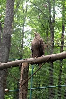 Uma águia das estepes senta-se em uma árvore em um viveiro de pássaros. uma ave de rapina da família do falcão.