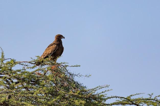 Uma águia na copa de uma árvore