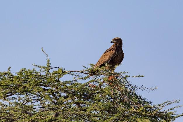 Uma águia na coroa de uma árvore