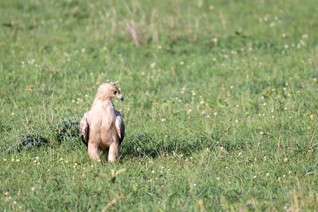 Uma águia no meio da pastagem em um prado