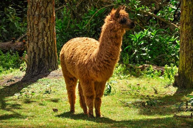 Uma alpaca marrom