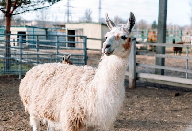 Uma alpaca semelhante a uma lhama da américa do sul está em seu cercado em uma fazenda