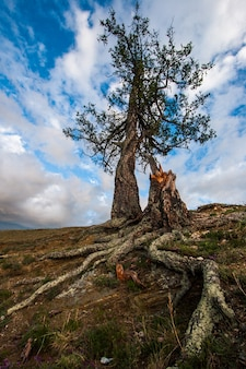 Uma árvore com raízes salientes contra o céu em uma rocha. grandes raízes texturizadas. nuvens no céu. há um velho toco.