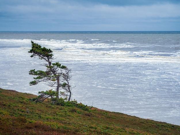 Uma árvore curvada solitária na costa de um mar frio