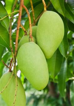 Uma árvore de manga verde