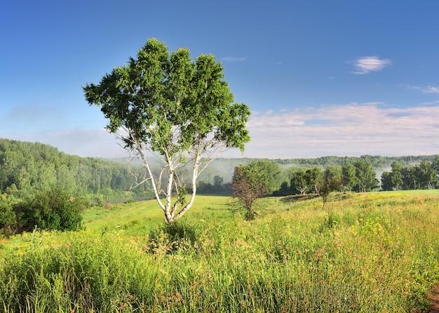 Uma árvore de vidoeiro sob um céu azul, grama densa em um prado verde neblina no horizonte natureza da sibéria