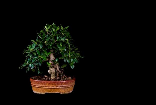 Uma árvore em miniatura de bonsai tradicional japonesa em um vaso isolado em um fundo preto