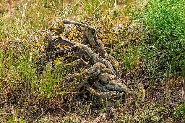 Uma árvore morta está coberta de musgo