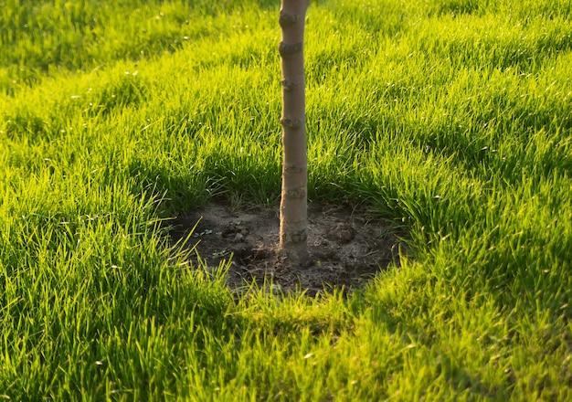 Uma árvore recém-plantada jovem em um gramado verde em um jardim ou parque.