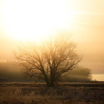 Uma árvore sem folhas sob os raios do sol nascente. a floresta está envolta em névoa.