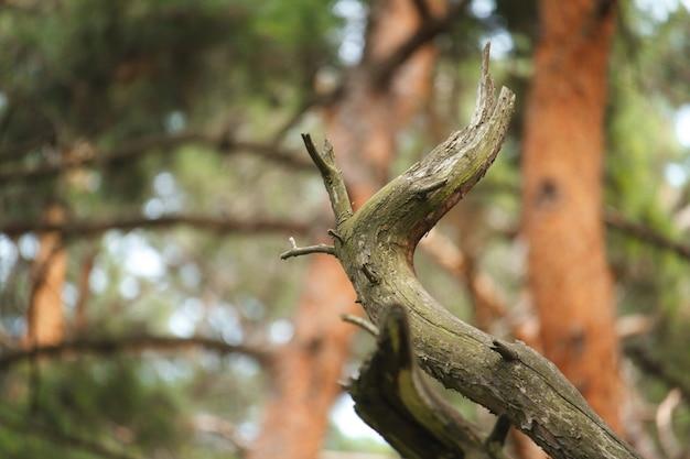 Uma árvore velha, seca e amassada contra um fundo desfocado da floresta