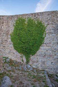 Uma árvore verde decorativa adorna a antiga muralha da fortaleza de montenegro. planta trepadeira crescendo e cobrindo a parede de pedra