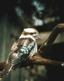 Uma asa azul kookaburra, o pássaro australiano mais famoso