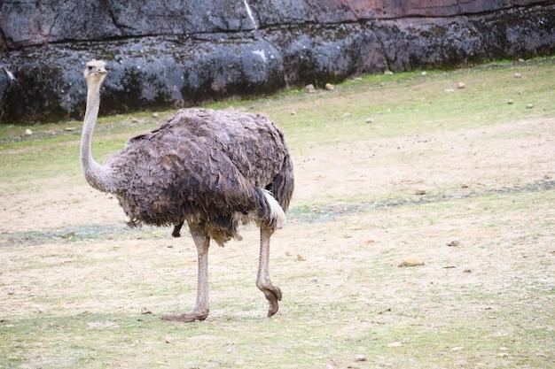 Uma avestruz caminhando em um campo gramado