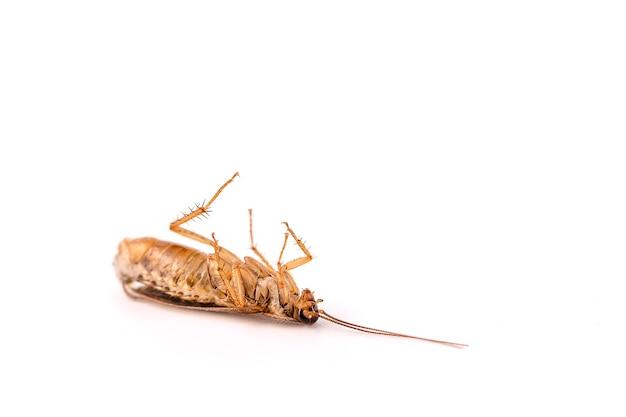 Uma barata morta está deitada de costas sobre um fundo branco.