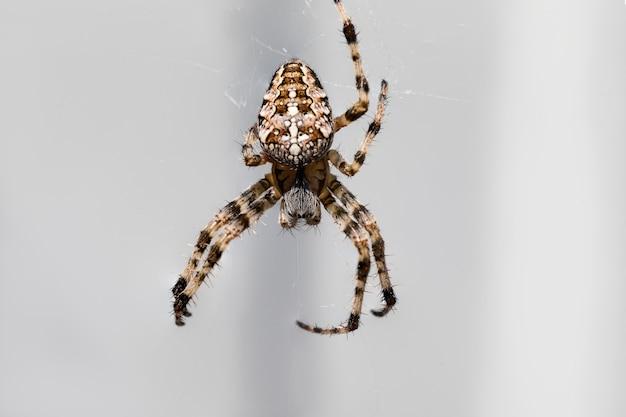 Uma bela aranha peluda tece uma teia.