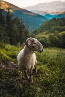 Uma bela cabra com chifres na subida ao monte adarra em urnieta, perto de san sebastian. guipúscoa, país basco.