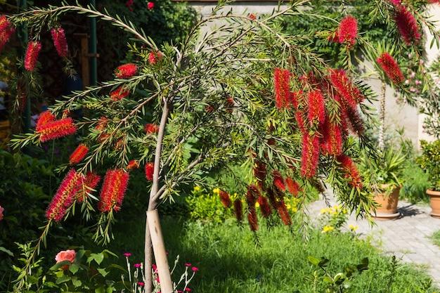 Uma bela escova de flores em flor, planta delicada flores callistemon citrinus vermelho fofinho flor cabeças
