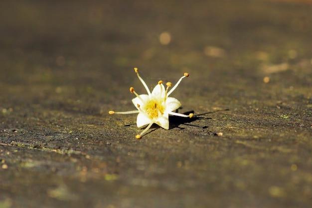 Uma bela flor estrela com sombra do sol à noite.