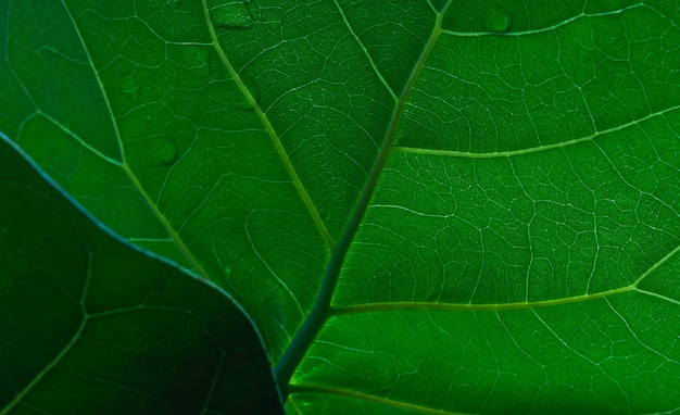 Uma bela folha de uvas do mar (coccoloba uvifera), foco selecionado.