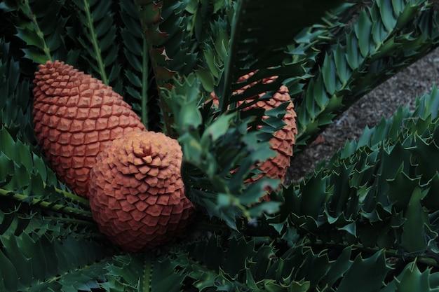 Uma bela foto da planta cycad