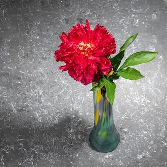 Uma bela peônia vermelha brilhante em um vaso de vidro em um pano de fundo texturizado cinza com espaço de cópia. cartão festivo ou convite. presente de flor para mãe ou mulher de férias. foto quadrada.