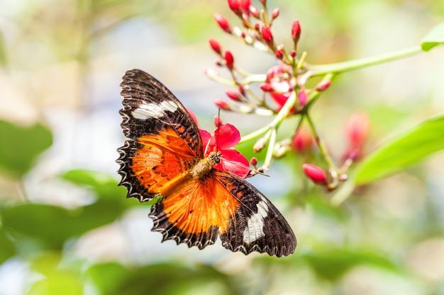 Uma borboleta brilhante laranja frágil recolhe o néctar em uma flor rosa.