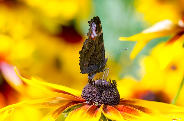 Uma borboleta em um susans de olhos pretos