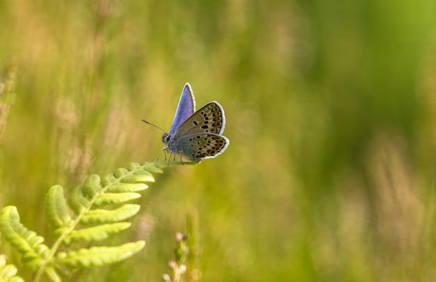 Uma borboleta idas blue plebejus idas sentado em uma folha de samambaia