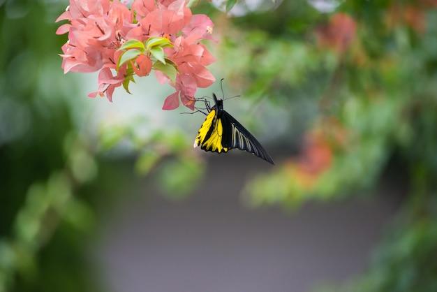 Uma borboleta monarca empoleirada em flores buganvílias amarelas e laranja bebendo néctar.