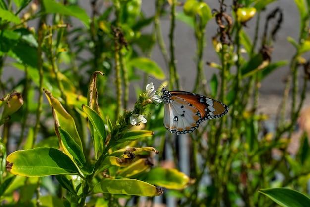 Uma borboleta monarca se alimentando de flores brancas em um dia ensolarado