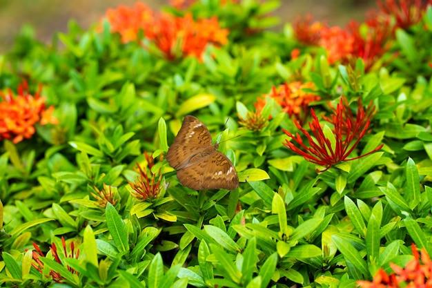 Uma borboleta tropical coleta néctar de flores no jardim.