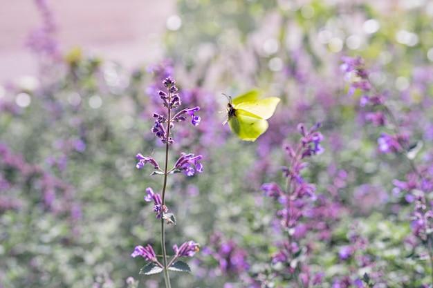 Uma borboleta voadora amarelo-limão voa para uma flor roxa desabrochando contra um fundo floral verde borrado, desfoque de movimento, foco suave