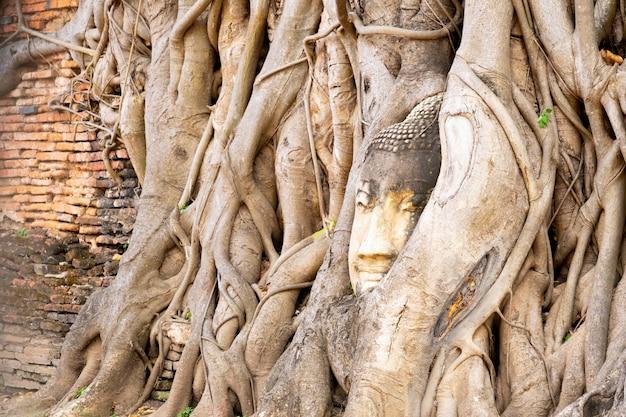 Uma cabeça de pedra de buddha cercou pelas raizes da árvore no templo de tailândia.
