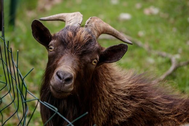 Uma cabra atrás de uma cerca procurando comida