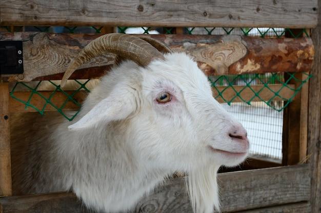Uma cabra branca com chifres aparecendo através de uma cerca de madeira close da cabeça de cabra