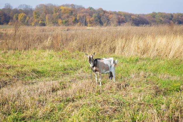 Uma cabra doméstica bonita é amarrada a um pasto contra a grama verde no campo.