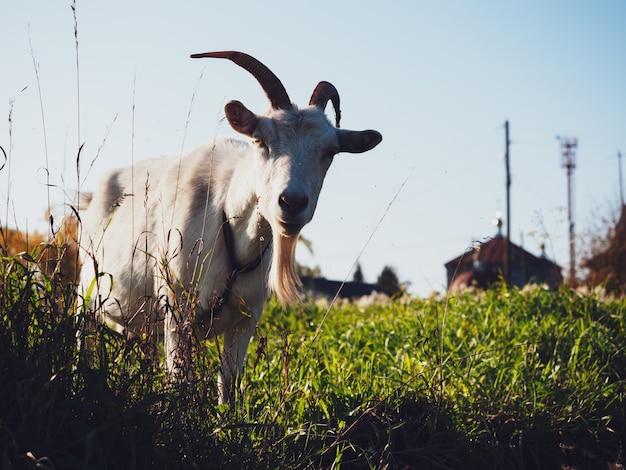 Uma cabra pasta em um prado na aldeia no outono.