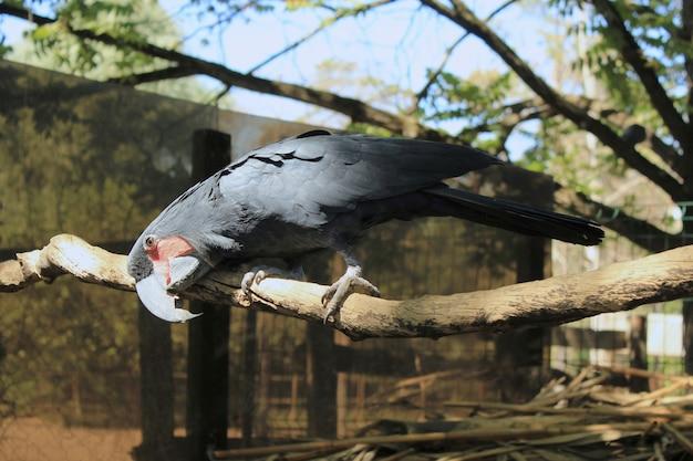 Uma cacatua negra sentada em um galho