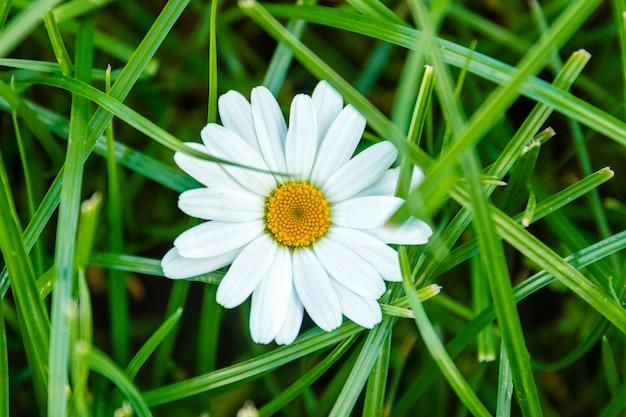 Uma camomila na grama verde close-up