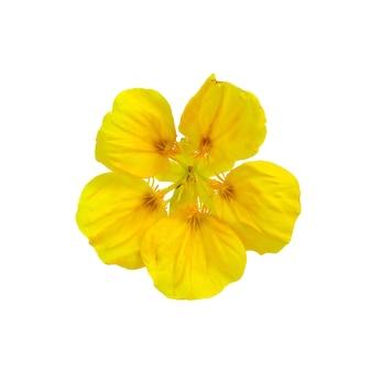 Uma capuchinha de flor amarela isolada no fundo branco