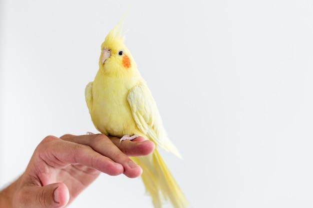 Uma carolina ou ninfa cacatua empoleirada na mão de seu dono